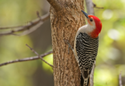 Animal Messsages - Red-Bellied Woodpecker